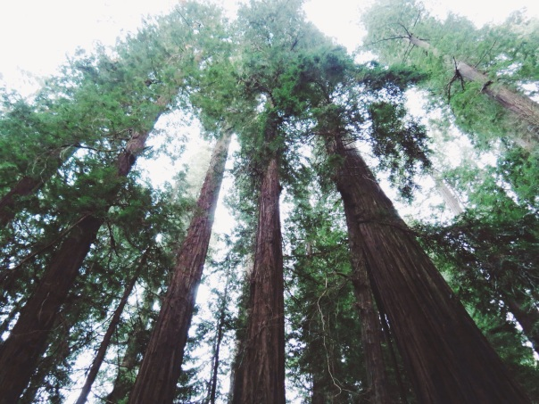 California Redwoods, Avenue of Giants