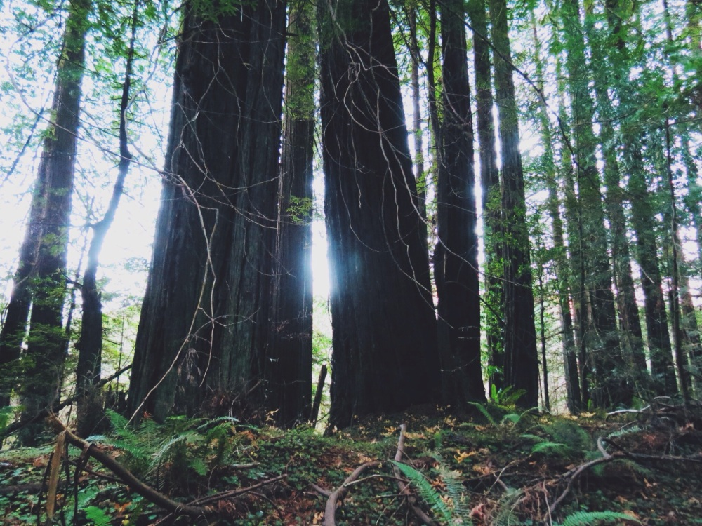Light between the redwoods