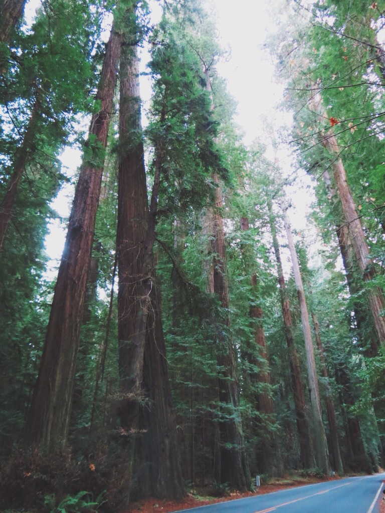 Redwoods, Northern california