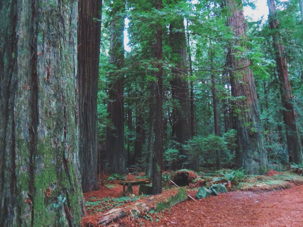 California red moss and redwoods