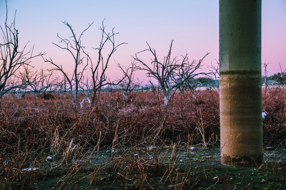 Purple trees, the landscape of Rowlett