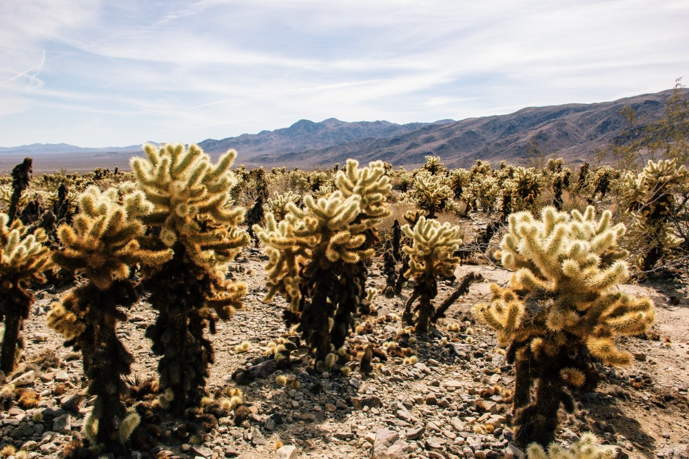 Cholla Cactus at Joshua Tree NP, California