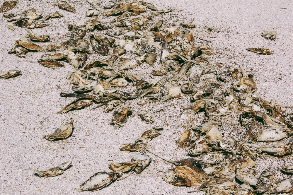 dead fish on the beach at Salton Sea, California